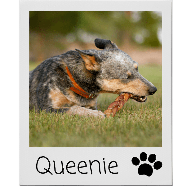 Queenie the dog and her bully stick